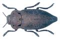 Capnodis tenebricosa (Olivier, 1790).png