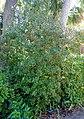 Capparis cynophallophora - Marie Selby Botanical Gardens - Sarasota, Florida - DSC01520.jpg