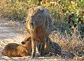 Capybaras (Hydrochoerus hydrachaeris) female with two youngs suckling.jpg