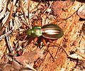 Carabus auratus Southern France.jpg