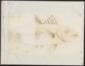 Caranx crumenophthalmus - 1700-1880 - Print - Iconographia Zoologica - Special Collections University of Amsterdam - UBA01 IZ13500365.tif