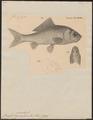 Carassius auratus - 1833-1850 - Print - Iconographia Zoologica - Special Collections University of Amsterdam - UBA01 IZ15000054.tif