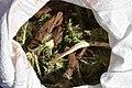 Cardoon harvest in Iran 2020-04-18 17.jpg
