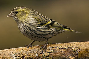 Eurasian siskin - Female