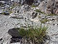 Carex congdonii — Matt Lavin 002.jpg