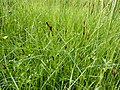 Carex disticha plant (01).jpg