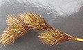 Carex ovalis inflorescens (11).jpg