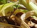 Carolina Mantis mimicry of Lilium lancifolium 02.jpg