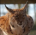 Carpathian Lynx 3a (16527928858).jpg