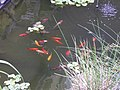 Carpes Koi (Cyprinus rubrofuscus) (2).jpg