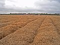 Carrot crop protected with straw - geograph.org.uk - 264634.jpg