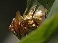 Cassidinae - copula (6446634005).jpg