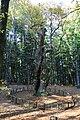 Castagno Miraglia, Parco nazionale delle foreste Casentinesi.JPG
