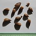 Castanopsis cuspidata nuts, by Omar Hoftun.jpg