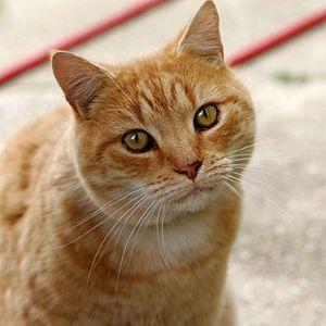 Comida para gatos - Wikipedia, la enciclopedia libre