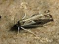 Catoptria verellus (25956915957).jpg