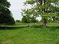 Cattle grazing in parkland - geograph.org.uk - 787328.jpg