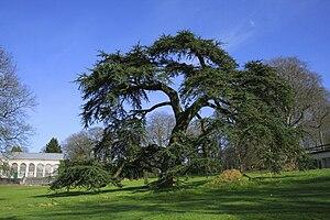 Libanon-Zeder (Cedrus libani)Großer Baum in einem Park in Morlanwelz in Belgien