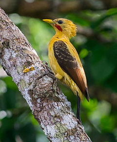 Celeus flavus, Cream-colored Woodpecker.jpg