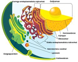 hur många celler har en människa