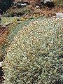 Centaurea horrida Sardinia LM023.jpg