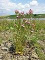Centaurium erythraea (subsp. erythraea) sl19.jpg