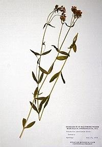 Centaurium erythraea BW-1979-0723-0307.jpg