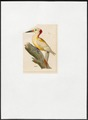 Centurus superciliaris - 1820-1860 - Print - Iconographia Zoologica - Special Collections University of Amsterdam - UBA01 IZ18700361.tif