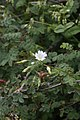 Cerastium davuricum (Caryophyllaceae) (33002500870).jpg