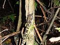 Ceratophora stoddartii, Horton Plains National Park.jpg