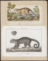 Cercoleptes caudivolvulus - 1700-1880 - Print - Iconographia Zoologica - Special Collections University of Amsterdam - UBA01 IZ22600187.tif