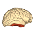 Cerebrum - inderior temporal gyrus - lateral view.png