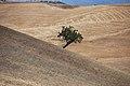 Cesarò - L'albero sul crinale - panoramio.jpg