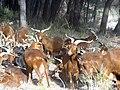 Chèvres du Rove dans la vallée de la Durance 01.jpg