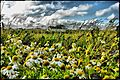 Chamomile on the Shore, Garður - panoramio.jpg