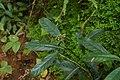 Chassalia curviflora 8419.jpg