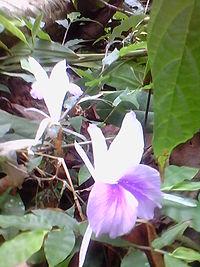Chenganeer Plant Flower.JPG