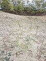 Chenopodium urbicum sl37.jpg