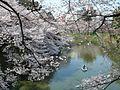 CherryBlossoms@Kitanomaru-ParkTokyo.jpg