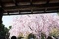 Cherry blossoms at Taizo temple in Kyoto - panoramio.jpg