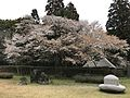 Cherry blossoms in Miyazaki Prefectural Museum of Nature and History 2.jpg
