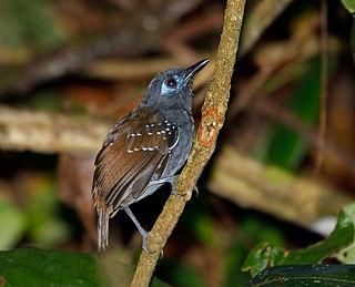 Chestnut-backed antbird species of bird
