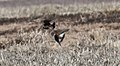 Chestnut-collared & Thick-billed Longspurs - tails (32563044601).jpg