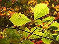 Chestnut Oak Leaves - Flickr - treegrow (3).jpg
