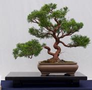 Chinesischer Wacholder Bonsai.png
