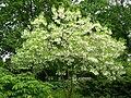 Chionanthus virginicus - Morton Arboretum.jpg