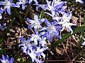 Chionodoxa luciliae var. tmolusi in Jardin des Plantes 01.jpg