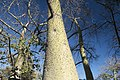 Chorisia speciosa arbre.jpg