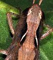 Chorthippus vagans pronotum.jpg