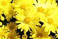 Chrysanthemum Gold Finch 2zz.jpg